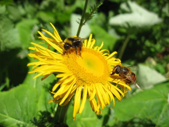 Robuste plante vivace atteignant parfois 2 mètres, l'aunée se distingue par ses capitules jaunes larges de 6 à 8 centimètres.
