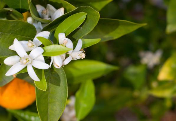 Au delà de ses fragrances miellées délicatement teintées d'amertume : l'eau florale de fleur d'oranger régule le rythme cardiaque, et ainsi calme et favorise le sommeil.
