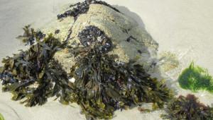 Pour l'agriculture, l'algue produit des bio-stimulants foliaires, de plus en plus utilisés en viticulture et en arboriculture comme alternative aux pesticides.