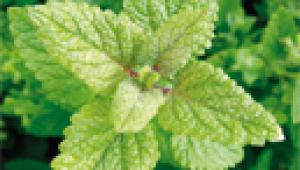 jardin médicinal : jardiner la mélisse