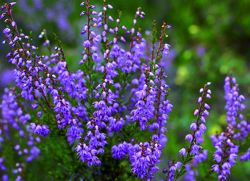 Plantes médicinales : Bruyère, une résistante
