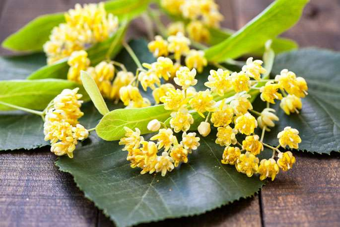Fleurs, aubier, bourgeons : le tilleul, bon pour le sommeil mais pas que.
