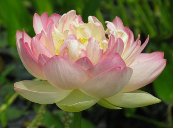 Le lotus est la plante la plus sacrée de toute l Asie. Sa racine est un  aliment très sain, riche en vitamines C, en fibres, en vitamines B6, en  cuivre, ... fae8bea3c58
