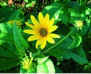 Plante médicinales : Les rhizomes pour résister tout l'hiver