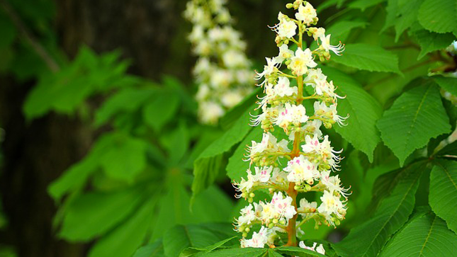 Horse chestnut, the solution for light legs - plants and health