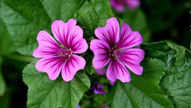 Malva contra la inflamación - plantas y salud
