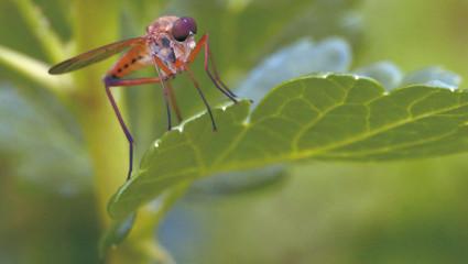 Moustiques, qui s'y frotte ne s'y pique plus