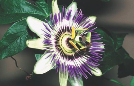Passiflora incarnata: pour trouver la paix de l'âme