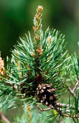Le pin sylvestre, élixir du perfectionniste