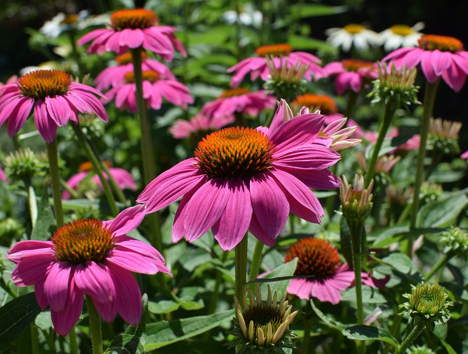 Aumente su inmunidad con Echinacea (Echinacea) - Plantas y salud