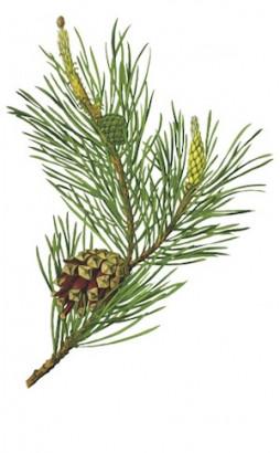 Phytothérapie : pinus sylvestris