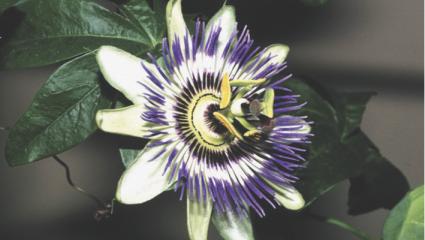 Les plantes pour soigner les troubles du sommeil