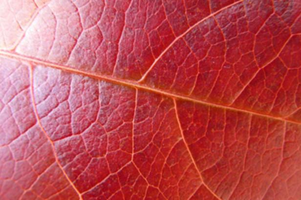 Le pycnogenol : protecteur du système veineux