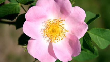 Les nombreuses vertus du rosier sauvage