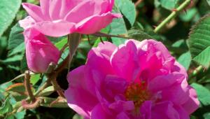 La rose de damas, un élixir de beauté