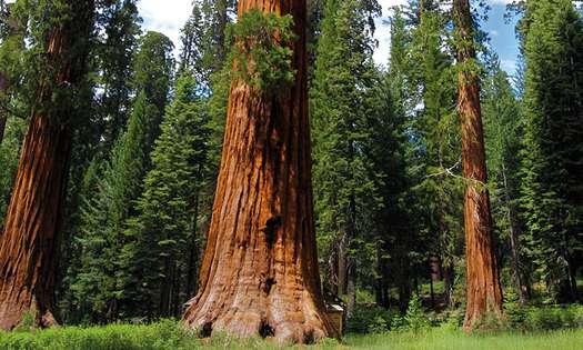 Le sequoia géant, recharge énergétique assurée