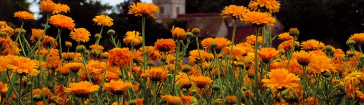 Le Souci Une Fleur Facile Plantes Et Sante
