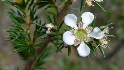 L'huile essentielle de tea tree possède des vertus antiseptiques et antivirales.