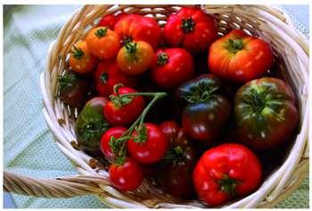Manger sain : les tomates, plantes médicinales