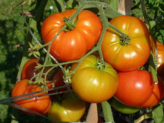 Les tomates stressées par les portables