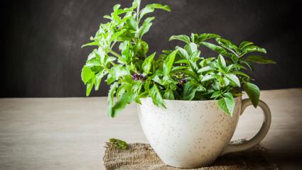 Le tulsi - Plante purificatrice du corps et de l'esprit