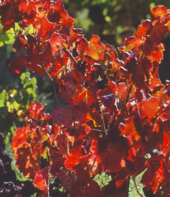 La vigne rouge stimule la circulation