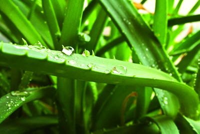 Plantes médicinales : L'Aloe vera, un gel réparateur