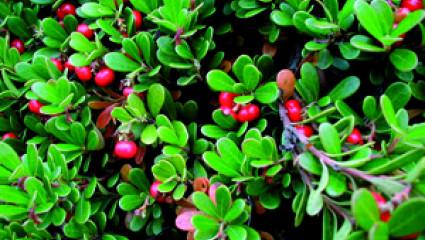 Phytothérapie : busserole