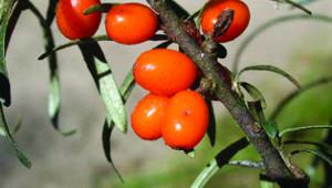 Plantes médicinales : L'argousier, en jus pour la tonicité