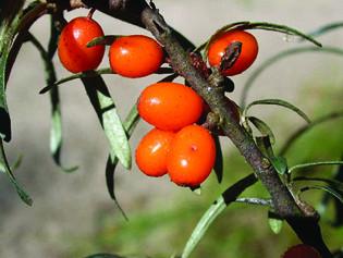 Plantes médeicinales : L'argousier, en jus pour la tonicité
