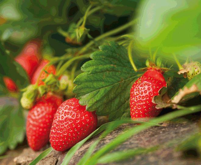 manger sain : fraises