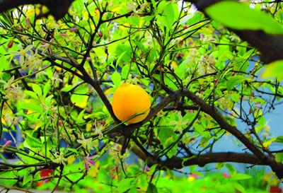 Plantes médicinales : le citron