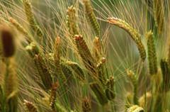 Manger sain : les céréales