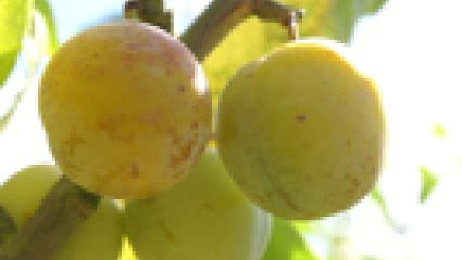 Propriétés et bienfaits des prunes