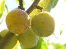 Fraîches ou sèches les prunes nous régalent