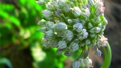 Phytothérapie : le torticolis