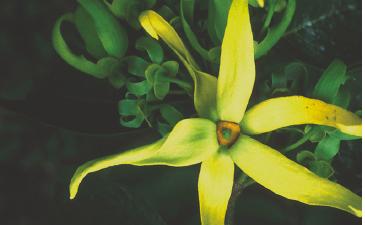 Ylang-ylang, un parfum qui réchauffe le coeur