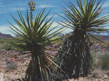 Le yucca : pharmacien de la Vallée de la mort