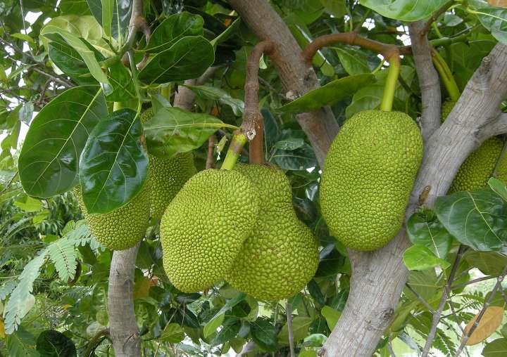 Jacquier (Artocarpus heterophyllus)