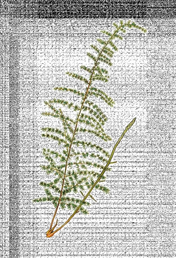 asperge à feuilles aiguës (Asparagus acutifolius)