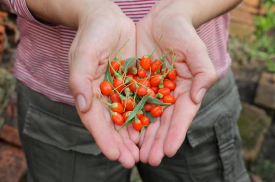Ce petit fruit rouge qui ressemble à une cerise allongée est présenté comme l'aliment le plus efficace pour lutter contre le vieillissement dans la médecine traditionnelle chinoise.