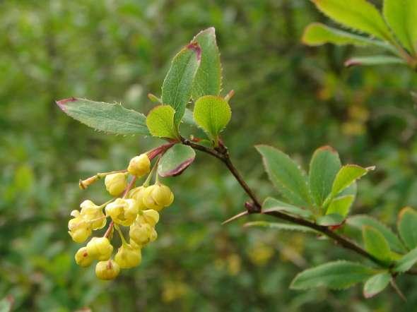 Les fleurs, réunies en grappes, sont munies de 6 sépales, 6 pétales jaunes et 6 étamines.