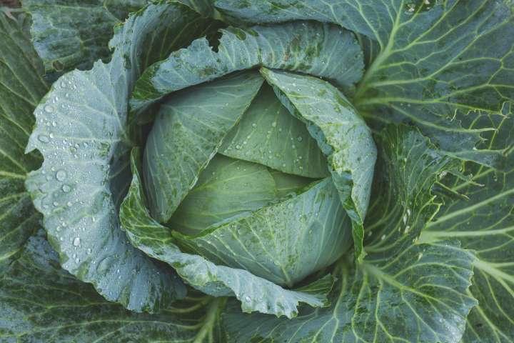 Le chou vert, un légume exemplaire