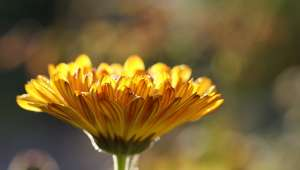 Traiter les mycoses des pieds avec les plantes