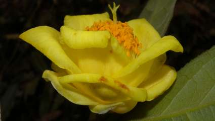 Camellia mingii S. X. Yang