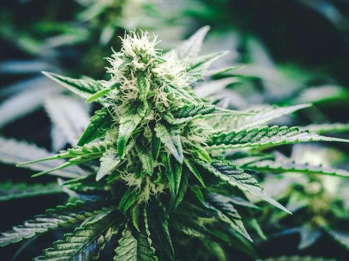 Cannabis-douleurs-seniors