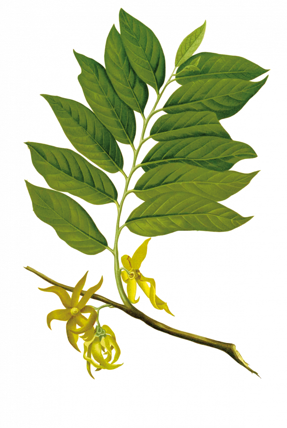 ylang ylang (cananga odorata)