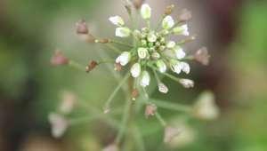 Capselle bourse-à-pasteur (Capsella bursa pastoris)