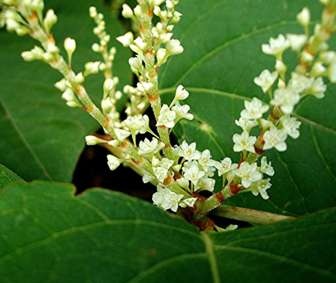 Renouée du Japon (Reynoutria japonica)