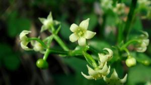 Racine du Manjishta (Rubia cordifolia)